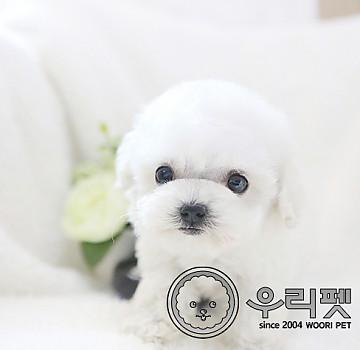 너무 작고 귀여운 인형같은 외모 미니 비숑프리제 강아지분양 합니다^^ 우리펫 [ 비숑 미니비숑 미니비숑프리제 ]
