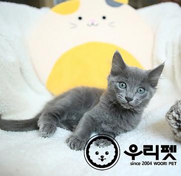 차가운 도시 고양이 러시안블루 고양이분양 합니다^^ [ 강동구고양이분양 ]