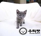 매력부자 개냥이 러시안블루고양이