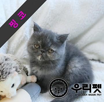 건강한 가정묘 엑죠틱숏헤어고양이 분양합니다^^ 성남고양이분양
