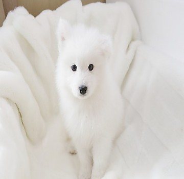 커다란 눈덩이 사모예드 강아지분양