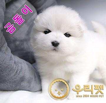 솜사탕같은 흰둥이 사모예드 강아지분양 곰돌이
